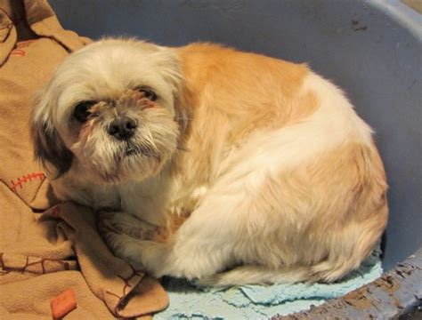 princess shih tzu princess 3 year shih tzu for adoption