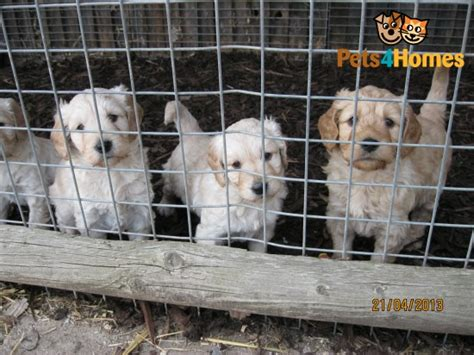 goldendoodle puppies for sale in essex miniature goldendoodle puppies billericay essex