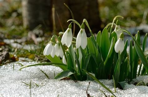 bucaneve fiori i fiori sfidano la neve foto pollicegreen