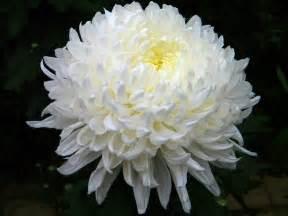 Chrysanthemum by Chrysanthemum