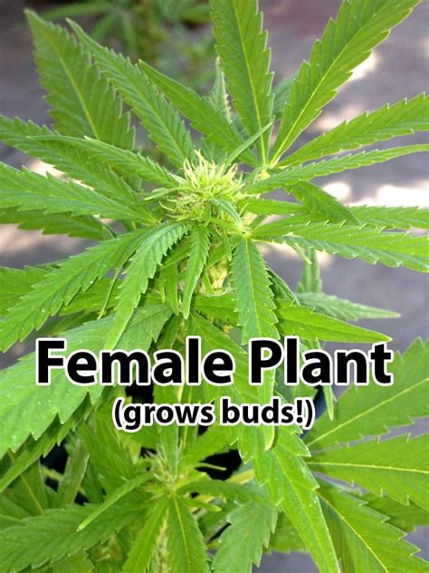Yes Im A Ganja Planter by Vs Cannabis Plants Grow Easy