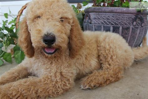 goldendoodle puppies for sale in tx goldendoodle puppy for sale near dallas fort worth