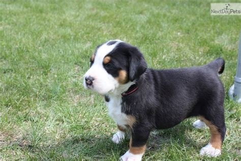 swiss mountain puppies for sale greater swiss mountain puppy for sale near deer alberta 16ac709e 3081