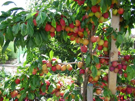 fruit trees for a small garden gardens trees and plum tree