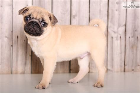 pugs for sale in columbus oh dopey pug puppy for sale near columbus ohio f778fd72 f3a1