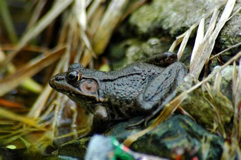 Garden Frogs how to attract ponds and toads to your pond hgtv