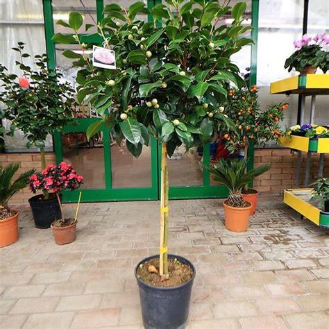 camelia japonica in vaso novit 224 piante camelia japonica ad alberello plants