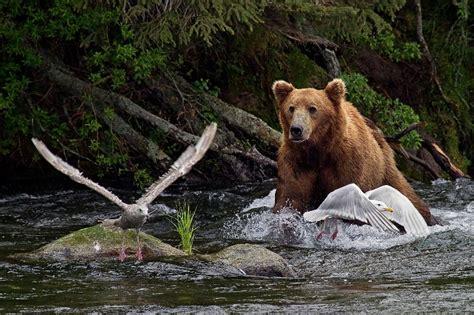 8 day alaska photo safari tour day eight katmai np or
