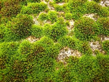 how many types of mosses are there what is moss definition types characteristics study