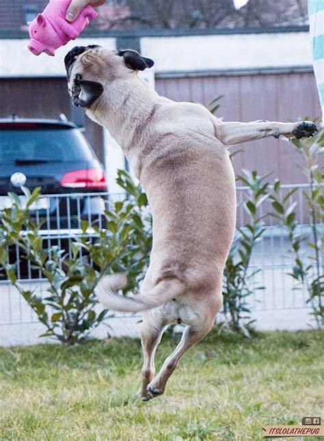 pug jumping jumping pug pugs