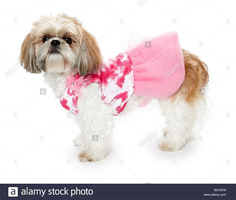 shih tzu puppy clothes shitsu shih tzu in pink clothes stock photo royalty free image 27204009