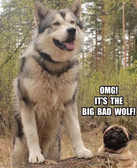 wolf pug pug meme pun lol pug memes lol perspective