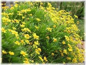 Shrub Yellow Flowers Spring - bush daisy hickory creek nursery