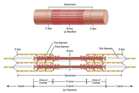 filament diagram sarcomere anatomy physiology 120 with lavender at