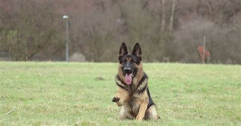 how to a german shepherd tricks this german shepherd will your mind check out his tricks familypet