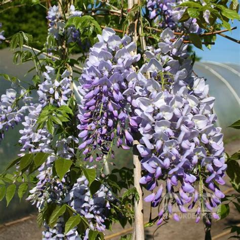 getting wisteria to bloomm wisteria prolific blue wisteria plant mail order trees