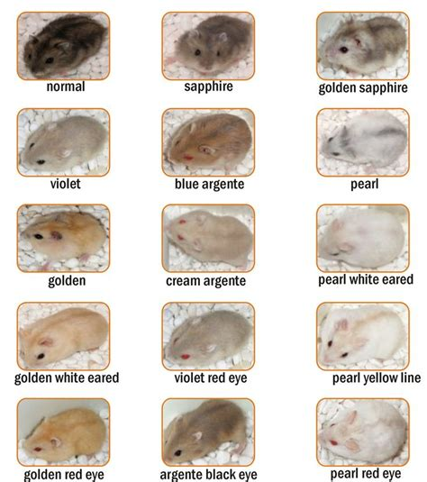 hamster colors best 25 winter white hamster ideas on