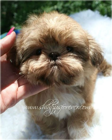 imperial shih tzu carolina shih tzu affectionate and playful shih tzu puppy shih tzu breeders and shih tzus