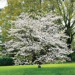 dogwood tree in the spring landscaping pinterest