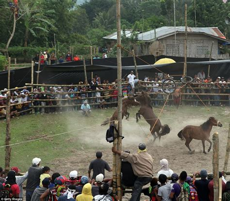 stallions fight   death  illegal horse fighting   philippines daily mail