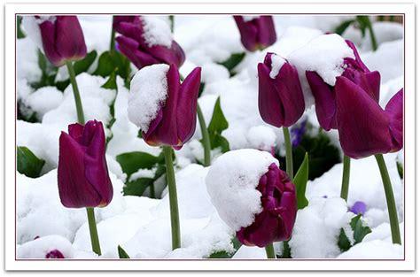 Tulips in the Snow   Tulips in the snow on the first day ... 3d Wallpaper For Winter