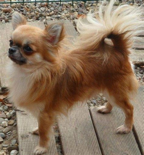 Hair Chihuahua Shedding by Chihuahua Breed Info Breeders And Puppies For Sale