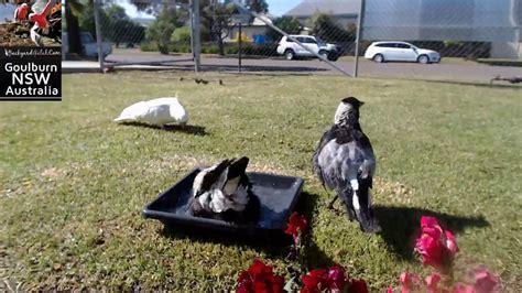 backyard cam australian magpies splashing around at backyard galah cam goulburn gogo papa