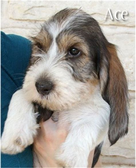 pbgv puppies quotes by margaret denbo like success