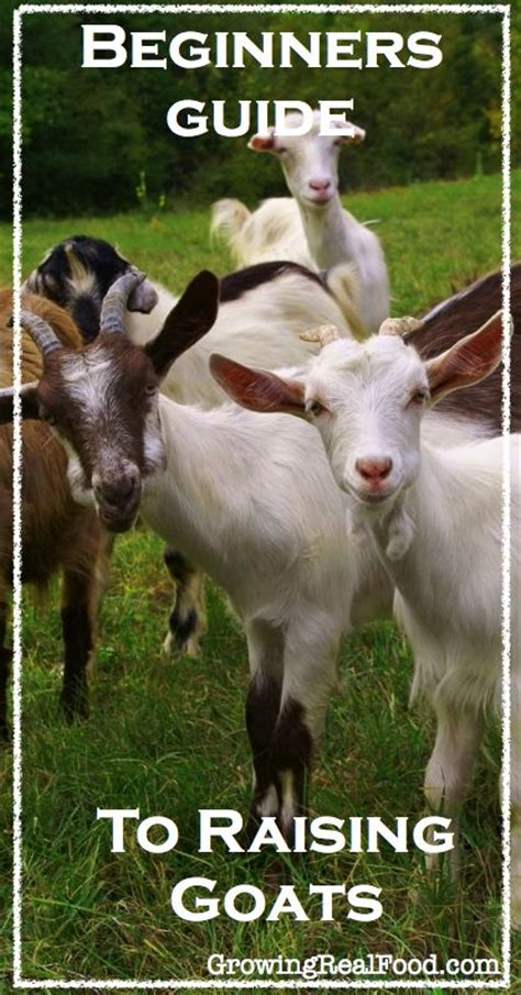 raising dairy goats a beginners starters guide to raising dairy goats books 81 best goats images on raising goats farm