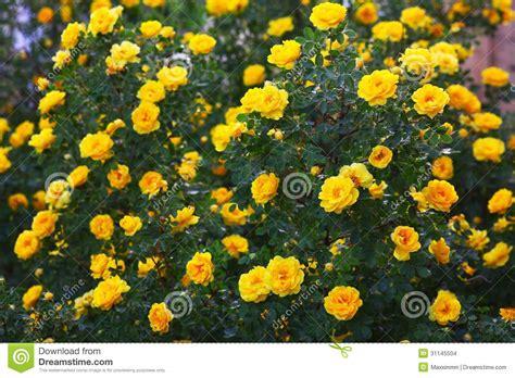 shrub with like flowers briar yellow bush flowers nature wallpaper stock