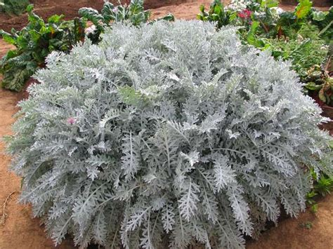 dusty miller cineraria maritime