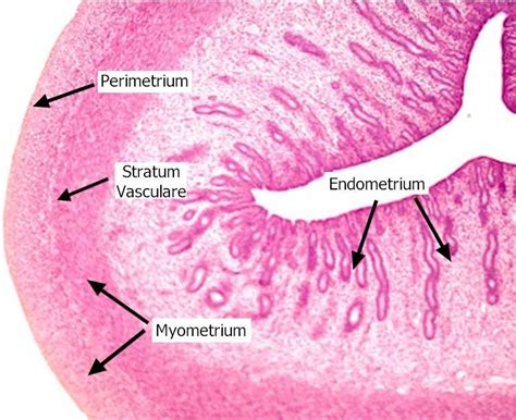sections of the uterus female reproduction