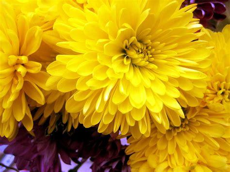 image gallery november flower image gallery november birthday flower