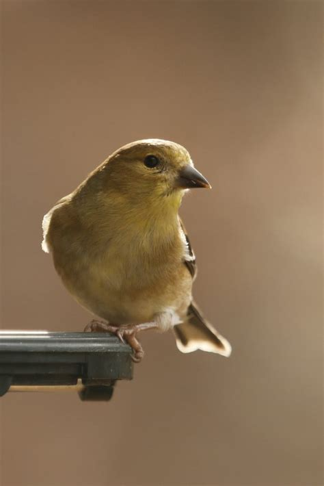 american goldfinch on feeder feederwatch