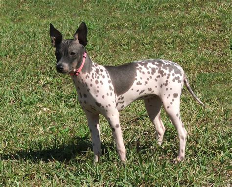 american hairless terrier puppies american hairless terrier pictures wallpapers9