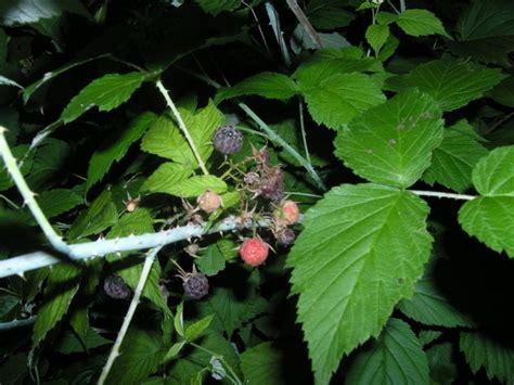 Nivea Lip Butter Raspberry 16 7 Gr frambuaz t 252 rk 231 e s 246 zl 252 k