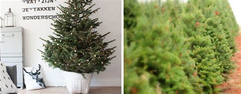 shaw living christmas tree 2 100 living christmas tree