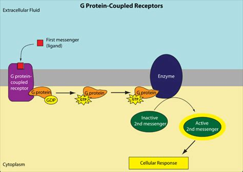 Signaling transduction tutorial | Leaders in ... G Protein Coupled Receptors Pathway