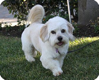 havanese puppies for adoption in california havanese mix for adoption in newport california rockwell