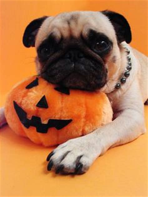 pumpkin pug merry s photos on pugs and happy