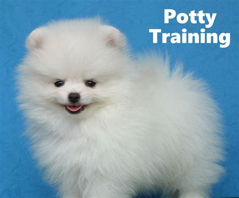 pomeranian house pomeranian puppies how to potty a pomeranian puppy pomeranian house
