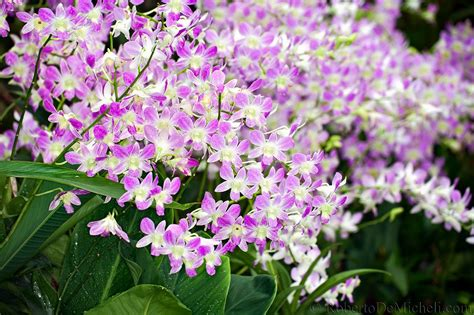 Orchid Botanical Garden Seas22 Orchid Botanical Garden Singapore Slides Img 7618 Jpg