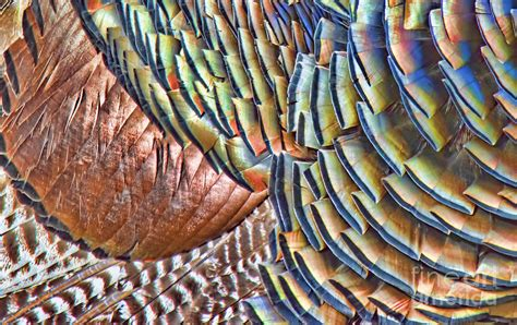 Colored Duvet Covers Turkey Feather Colors Photograph By Gary Beeler