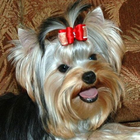 yorkie grooming instructions videos 17 best images about yorkie hair cuts on pinterest pets