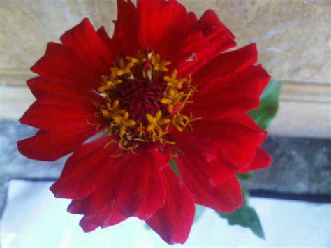 Jual Biji Bunga Matahari Merah tanaman zinnia merah jual tanaman hias