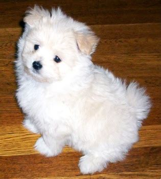 maltese pomeranian mix maltipom maltese x pomeranian info temperament puppies pictures