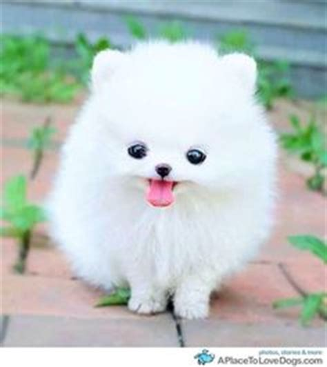 how big do teacup pomeranians grow cuteste hondjie ooit on pomeranians teacup pomeranian and pomeranian puppy