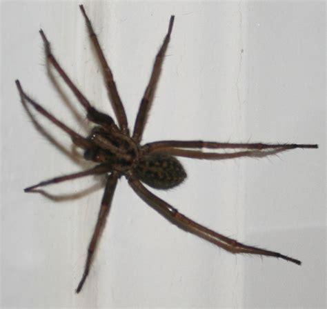House Spider Seattle by Spiders At Spiderzrule The Best Site In The World About