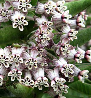 Annie's Annuals & Perennials SUMMER SALE! Asclepias Cancellata