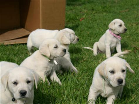 golden retriever puppies for sale geelong for sale labrador x golden retriever pups